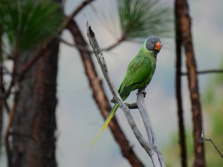 slate headed parakeet