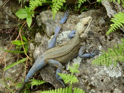 Agama Rock Chameleon